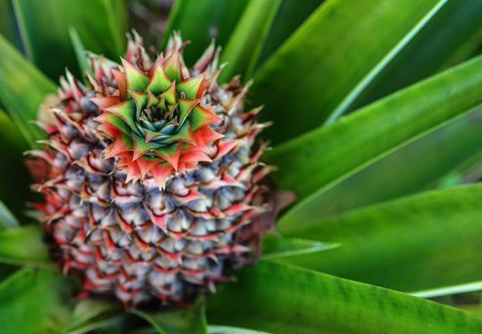 Pinepapple web